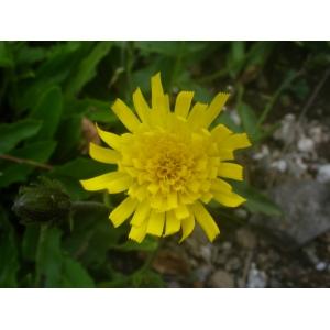 Hieracium prenanthoides Vill. [1779] (Épervière faux prénanthe)