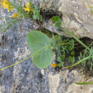 Photographie n°2092279 du taxon Ranunculus thora L. [1753]