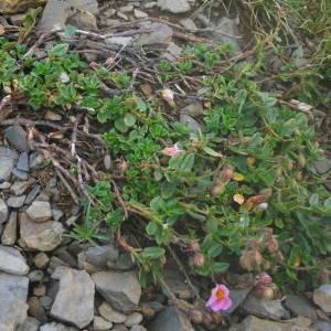 Photographie n°2092384 du taxon Helianthemum nummularium var. roseum (Willk.) G.López [1992]