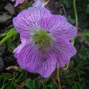 Photographie n°2092389 du taxon Geranium cinereum Cav. [1787]