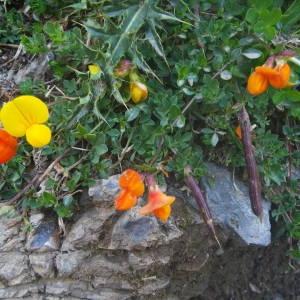 Photographie n°2092416 du taxon Lotus corniculatus subsp. alpinus (DC.) Rothm.