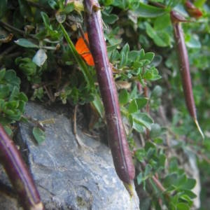 Photographie n°2092417 du taxon Lotus corniculatus subsp. alpinus (DC.) Rothm.