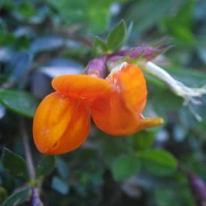 Photographie n°2092418 du taxon Lotus corniculatus subsp. alpinus (DC.) Rothm.