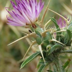 Photographie n°2092463 du taxon Centaurea calcitrapa L. [1753]