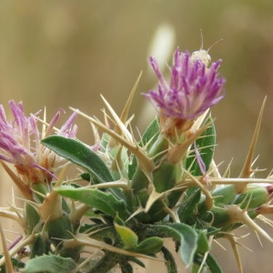 Photographie n°2092464 du taxon Centaurea calcitrapa L. [1753]