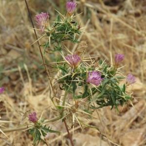 Photographie n°2092466 du taxon Centaurea calcitrapa L. [1753]