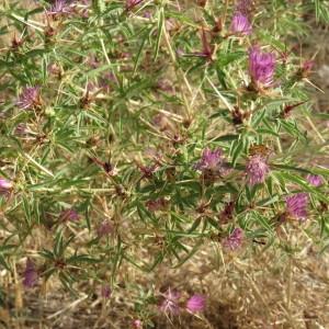 Photographie n°2092475 du taxon Centaurea calcitrapa L. [1753]