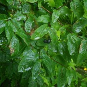 Photographie n°2092749 du taxon Lonicera nigra L. [1753]