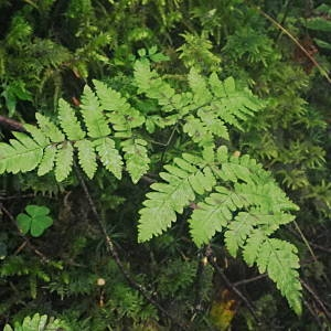 Photographie n°2092758 du taxon Gymnocarpium dryopteris (L.) Newman [1851]