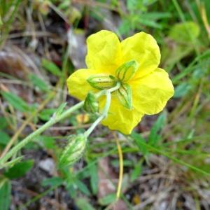 Photographie n°2092824 du taxon Helianthemum nummularium var. nummularium