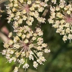 Photographie n°2092880 du taxon Angelica sylvestris L. [1753]