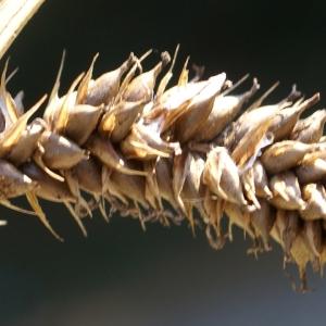 Photographie n°2092963 du taxon Carex pseudocyperus L.