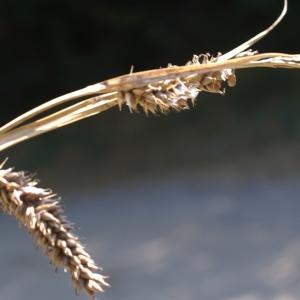 Photographie n°2092964 du taxon Carex pseudocyperus L.