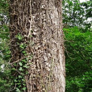 Photographie n°2093020 du taxon Quercus petraea subsp. petraea
