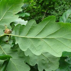 Photographie n°2093023 du taxon Quercus petraea subsp. petraea