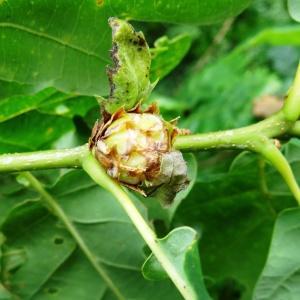 Photographie n°2093024 du taxon Quercus petraea subsp. petraea