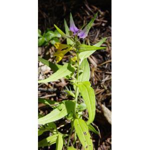 Melampyrum subalpinum (Jur.) A.Kern. (Mélampyre du Dauphiné)