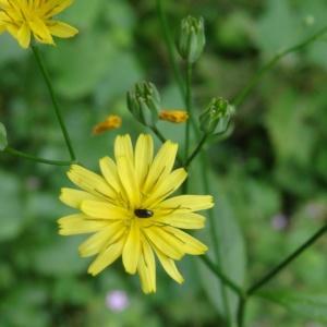 - Hieracium laevigatum Willd. [1803]