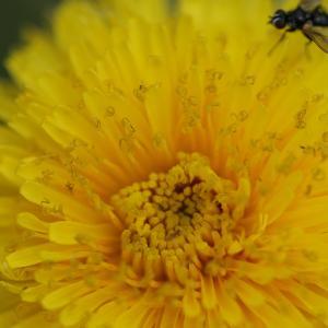 Photographie n°2093136 du taxon Taraxacum officinale Weber [1780]