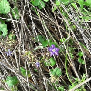Photographie n°2093145 du taxon Legousia speculum veneris