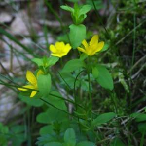 Photographie n°2093324 du taxon Hypericum humifusum L. [1753]