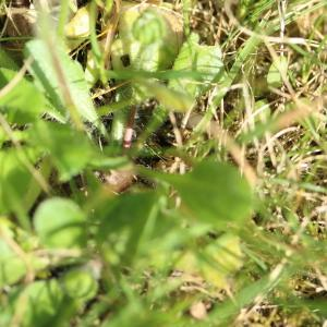 Photographie n°2093380 du taxon Bellis perennis L.