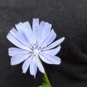 Photographie n°2093423 du taxon Cichorium intybus L. [1753]