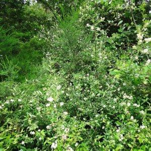 Photographie n°2093854 du taxon Ligustrum vulgare L. [1753]