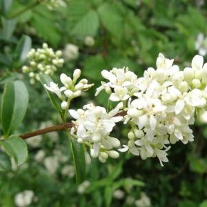 Photographie n°2093855 du taxon Ligustrum vulgare L. [1753]