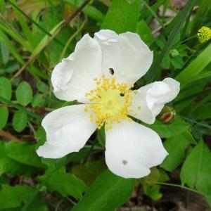 Photographie n°2093940 du taxon Rosa arvensis Huds.