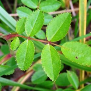 Photographie n°2093941 du taxon Rosa arvensis Huds.