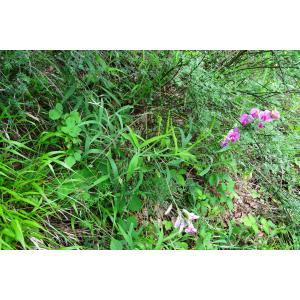 Lathyrus sylvestris L. subsp. sylvestris (Gesse des bois)