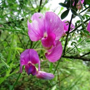 Photographie n°2093958 du taxon Lathyrus sylvestris subsp. sylvestris