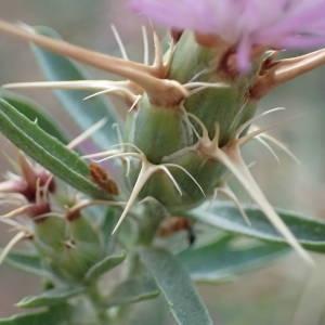 Photographie n°2094126 du taxon Centaurea calcitrapa L. [1753]