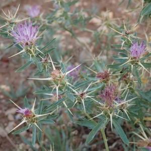 Photographie n°2094128 du taxon Centaurea calcitrapa L. [1753]