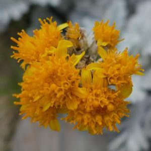 Photographie n°2094181 du taxon Jacobaea leucophylla (DC.) Pelser [2006]