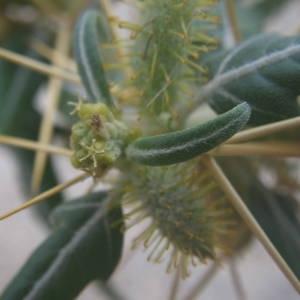 Photographie n°2094254 du taxon Xanthium spinosum L. [1753]