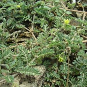 Photographie n°2094332 du taxon Tribulus terrestris L. [1753]