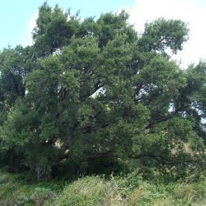 Photographie n°2094338 du taxon Quercus suber L. [1753]