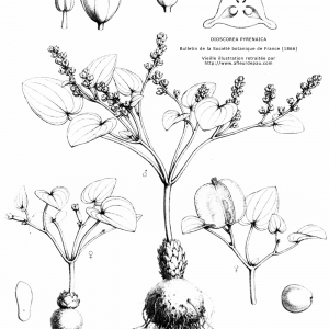 - Dioscorea pyrenaica Bubani & Bordère ex Gren. [1866]