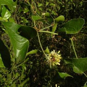 Photographie n°2094512 du taxon Smilax aspera L. [1753]
