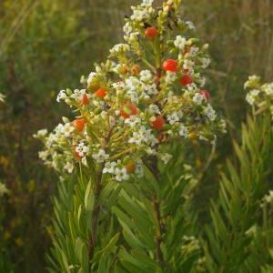 Photographie n°2094947 du taxon Daphne gnidium L. [1753]