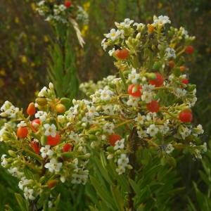 Photographie n°2094948 du taxon Daphne gnidium L. [1753]