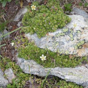 Photographie n°2095274 du taxon Saxifraga bryoides L. [1753]