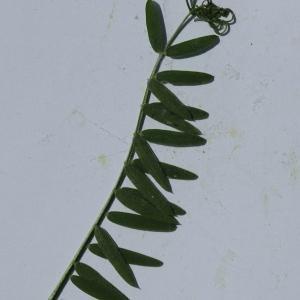 Photographie n°2095279 du taxon Vicia cracca L. [1753]