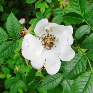 Photographie n°2095355 du taxon Rosa arvensis Huds.