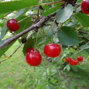 Photographie n°2095422 du taxon Prunus avium (L.) L. [1755]