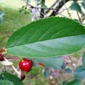 Photographie n°2095423 du taxon Prunus avium (L.) L. [1755]