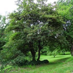 Photographie n°2095428 du taxon Acer monspessulanum L. [1753]