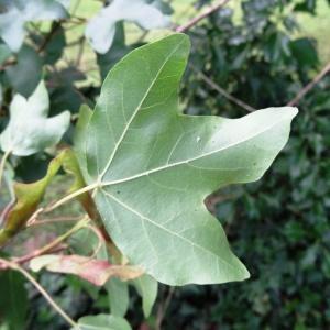 Photographie n°2095432 du taxon Acer monspessulanum L. [1753]
